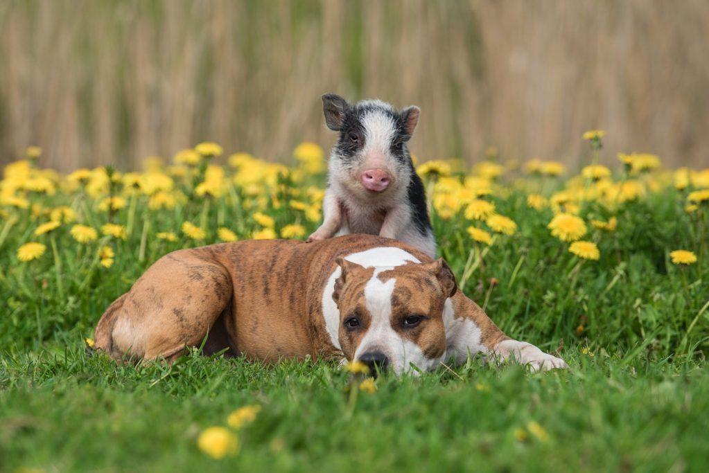 Los perros y los cerdos son igual de inteligentes, ¿por qué unos son mascotas y otros comida?