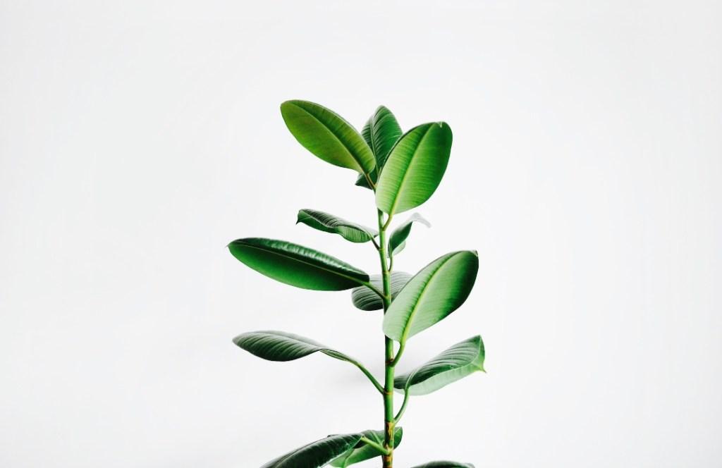"""Esta planta evolucionó para ser """"invisible"""" ante sus depredadores humanos"""
