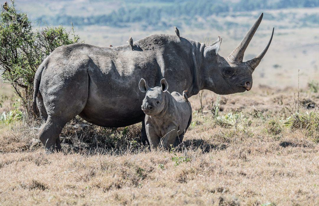 Nace rinoceronte, especie en peligro de extinción, en zoológico de Londres