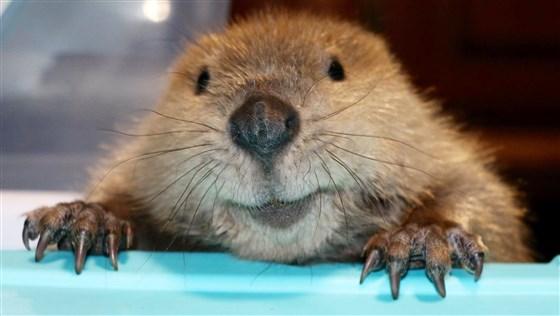 Este es Justin Beaver, el castor adoptado más valiente y adorable de Kentucky