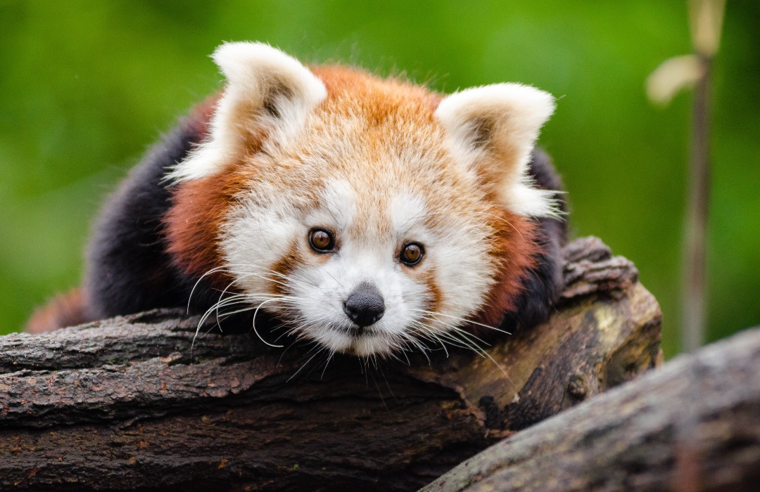 Llegan a Chile dos pandas rojos para ayudar a conservar su especie
