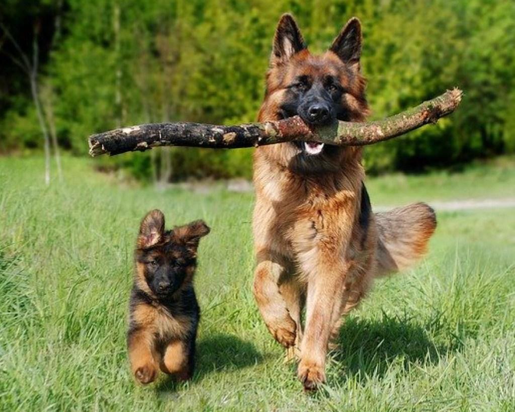 pastor alemán adopta a cachorros de león