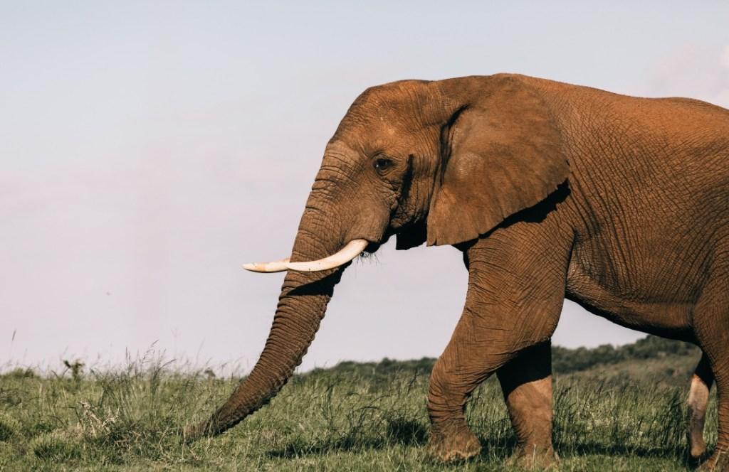 Hoy sabemos cómo es el comportamiento del elefante africano gracias al big data