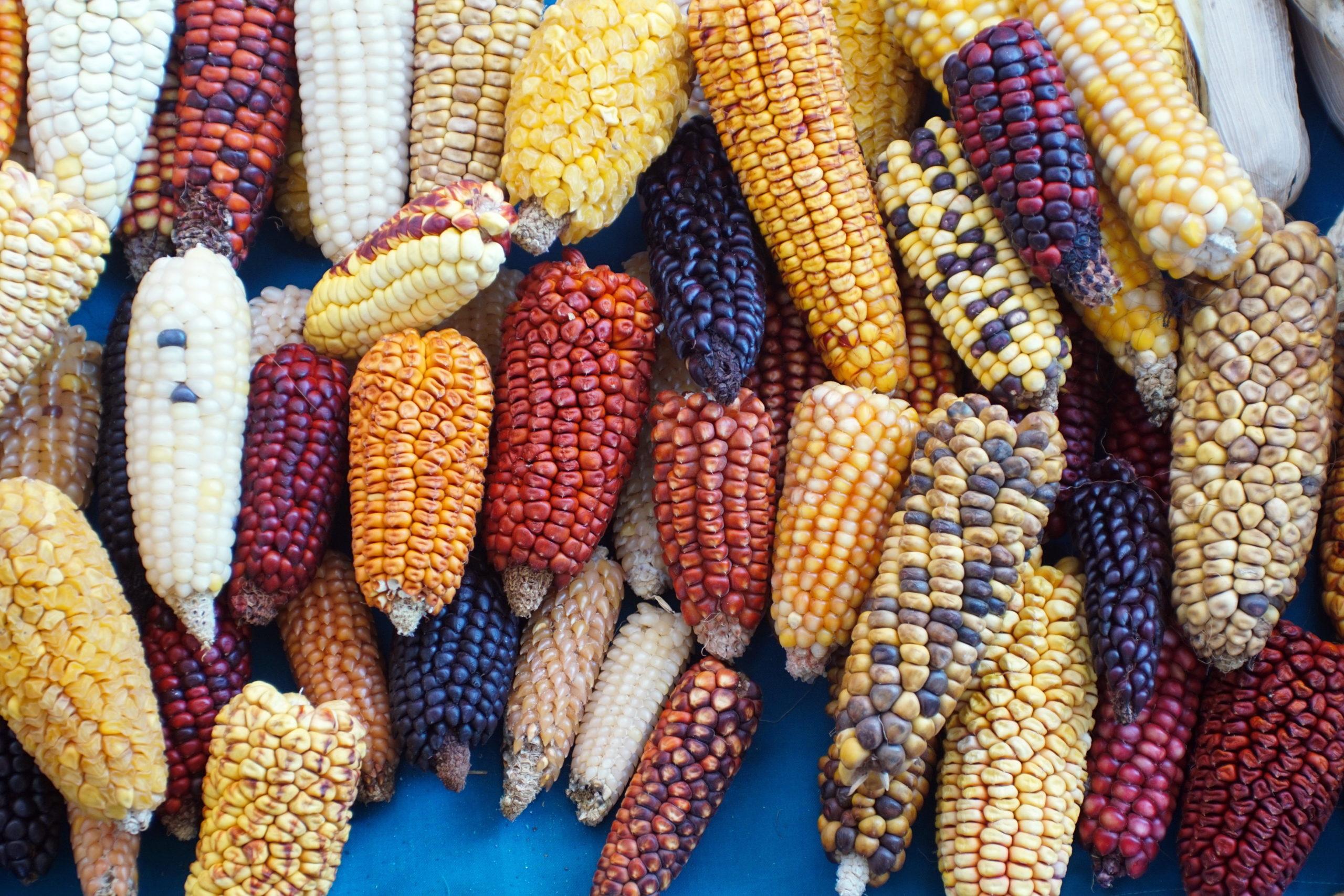 México prohíbe el maíz transgénico: para 2024 no existirá en el país