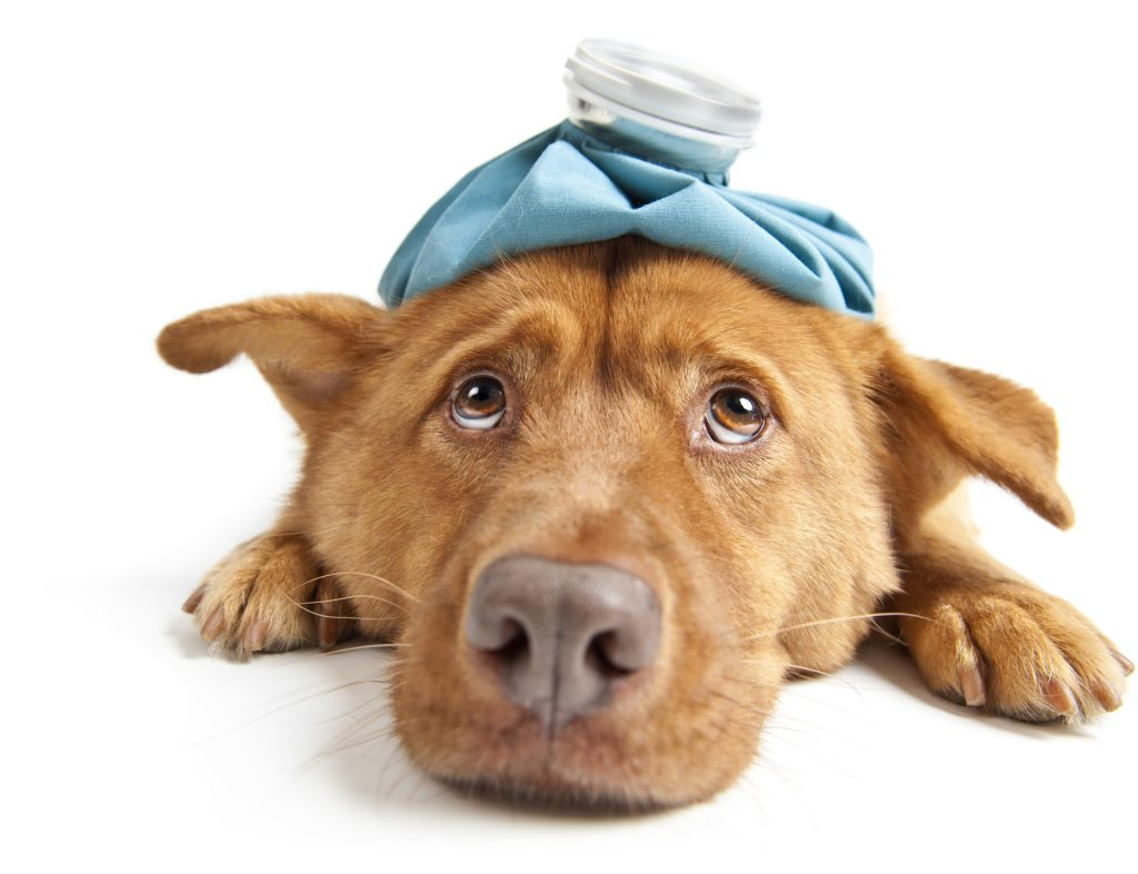 ¿Tu mascota tiene tos de perro? Así debes prevenirla