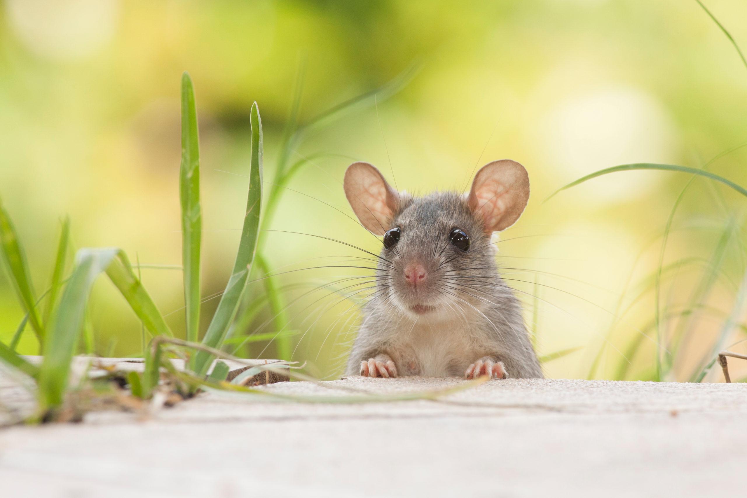 Estos ratones paralíticos ya pueden andar gracias a la ciencia