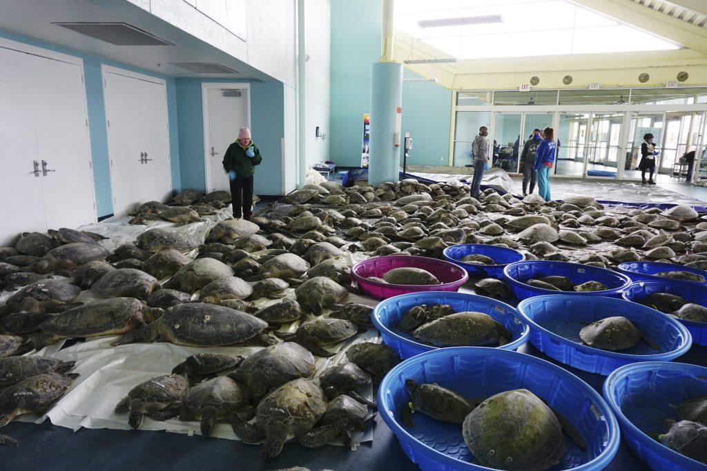 Rescatan a 4,500 tortugas en peligro por las bajas temperaturas en Texas
