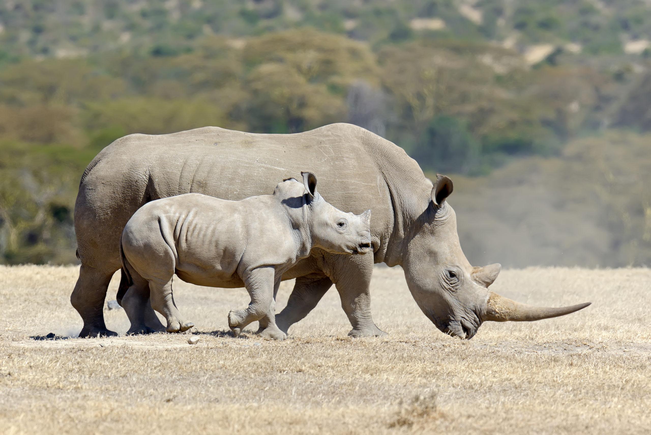 ¡Buenas noticias! Los rinocerontes blancos no se han extinguido