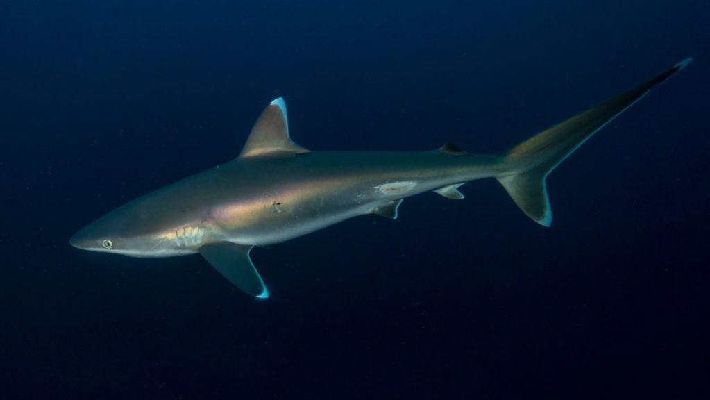 Descubren tres especies de tiburones que brillan en la oscuridad, ¿por qué?