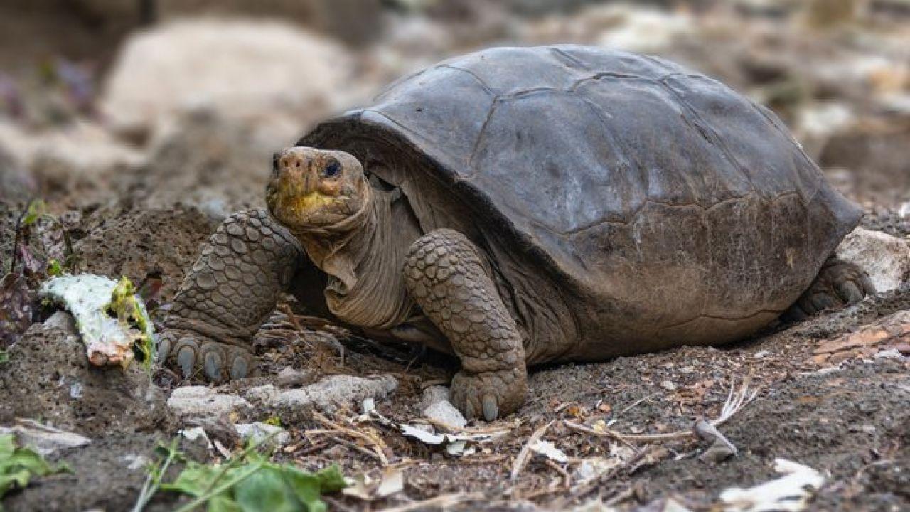 ¡Sorprendente! Encuentran en Galápagos tortuga supuestamente extinta hace un siglo