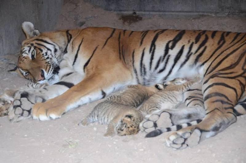 ¡Increíble! Nacen cuatro ligres en zoo de Chihuahua
