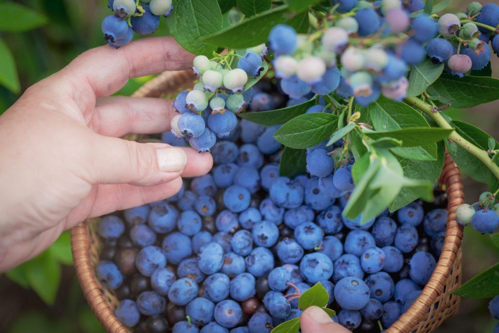 Conecta con la naturaleza al recolectar moras azules cerca de CDMX