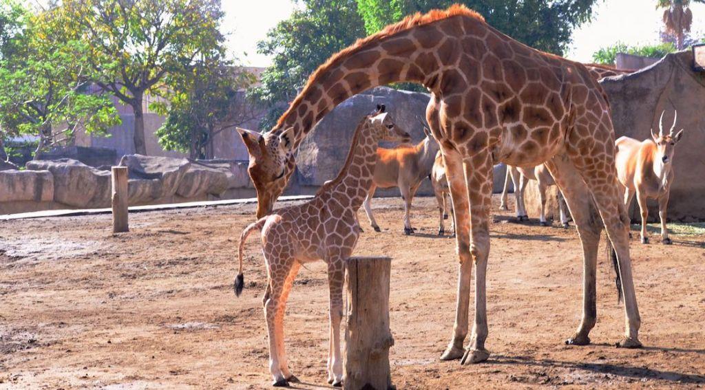 Nace jirafa en México y ¡puedes elegir su nombre!