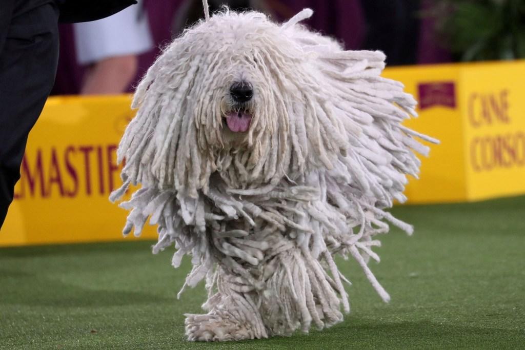Conoce a Wasabi, el pequinés que ganó el concurso Westminster Dog Show