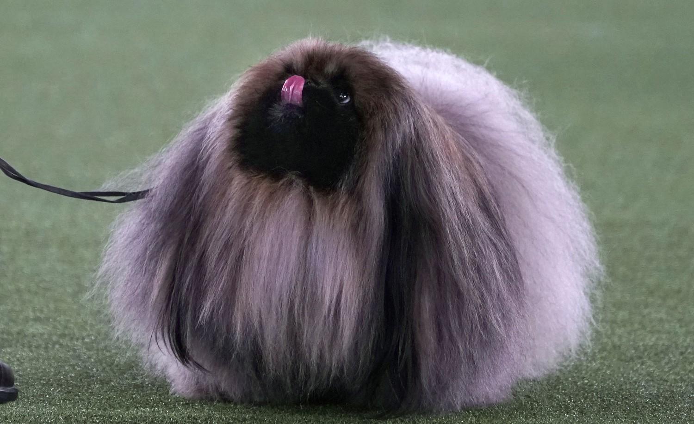 ¡Conoce a Wasabi!, el pequinés que ganó el concurso Westminster Dog Show