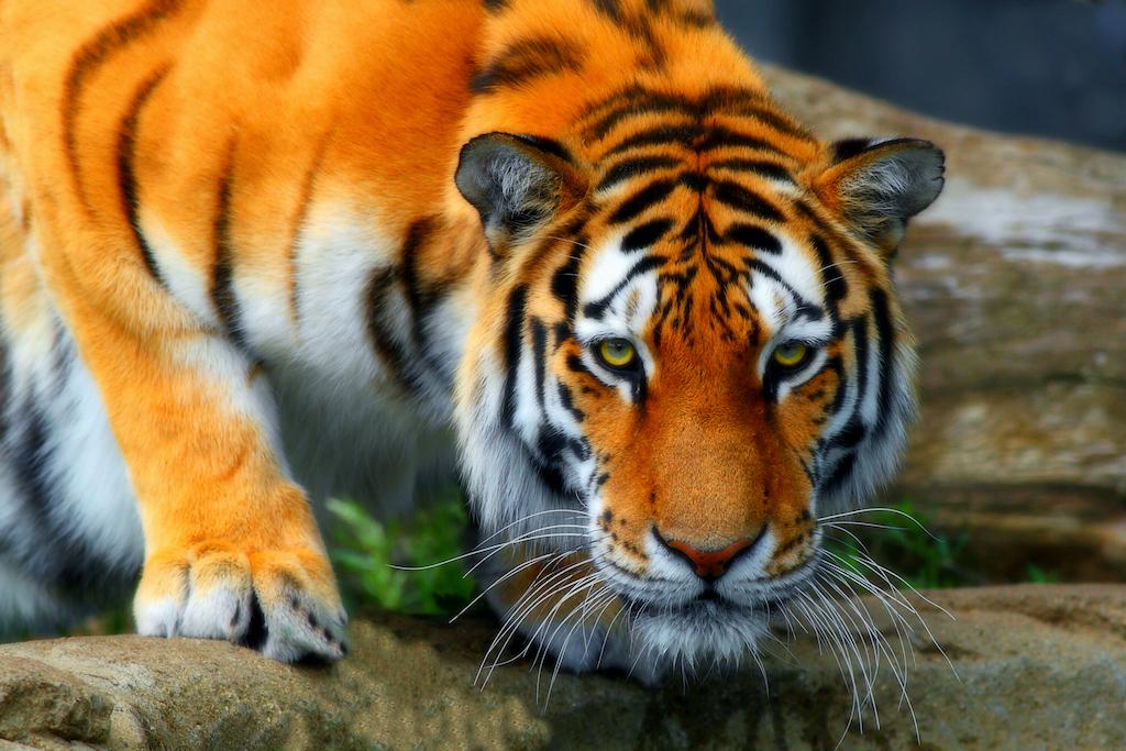 Debemos frenar el cautiverio doméstico de tigres y otros animales salvajes