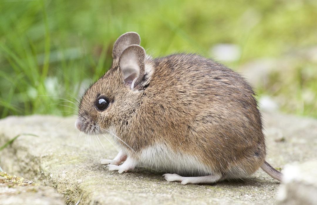 Un ratón que se creía extinto hace 150 años fue redescubierto en Australia