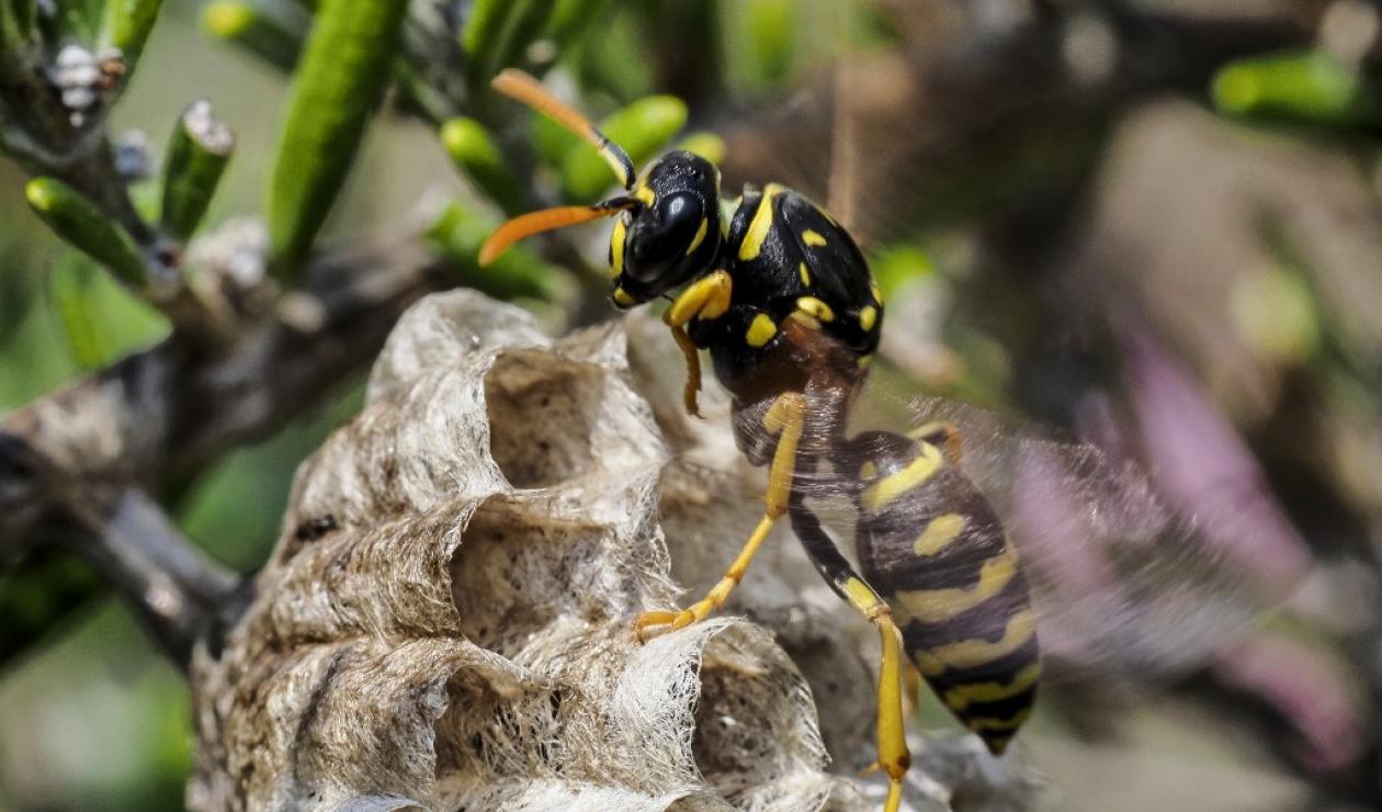 Avispón asiático: una amenaza para la supervivencia de las abejas