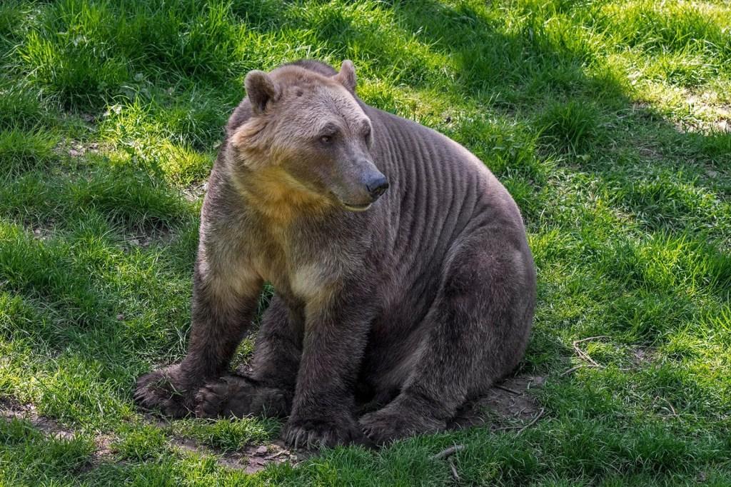 El grolar: nueva especie de oso híbrido surge como consecuencia de la emergencia climática