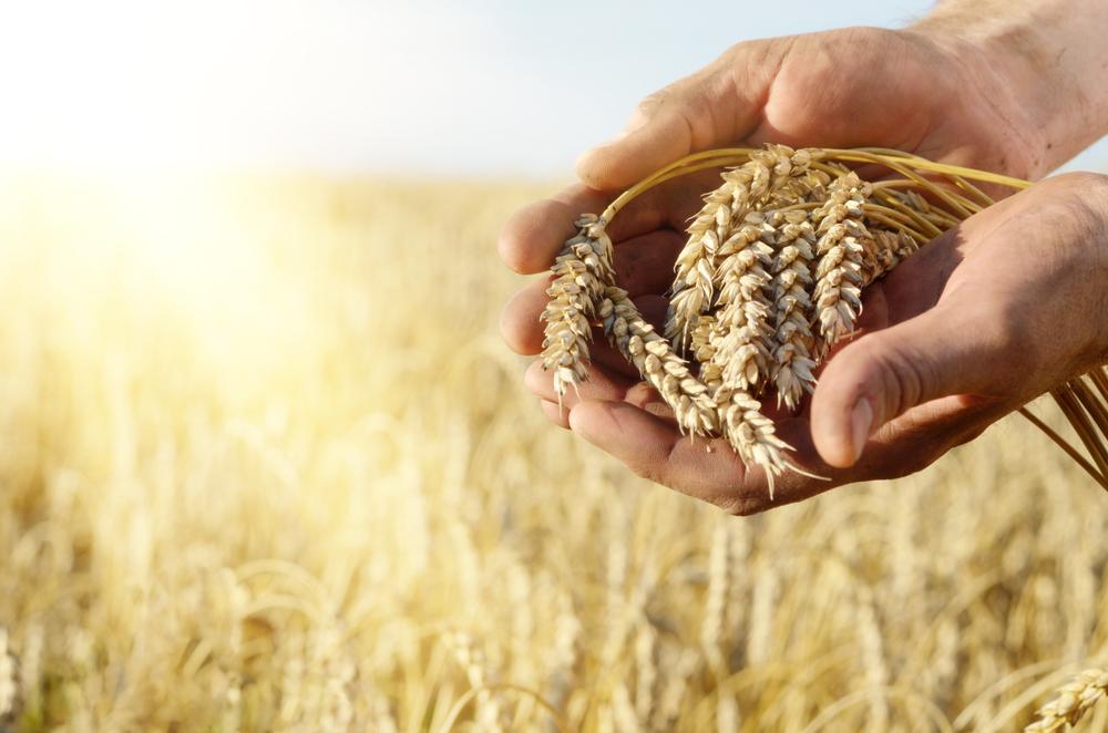 Científicos británicos crean trigo saludable que podría prevenir el cáncer