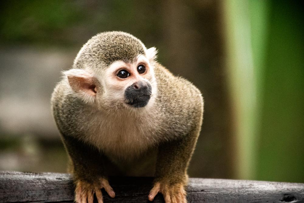 Aparece una nueva especie de mono tití en la Amazonia brasileña