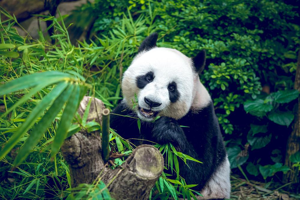 ¡Increíbles noticias! Nace primer panda gigante por inseminación artificial en Singapur