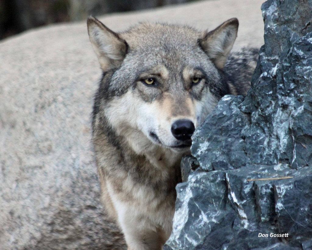 """Résultat de recherche d'images pour """"wolf"""""""