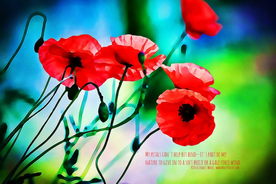 A red poppys diary poem wolff poetry writing writers a red poppys diary poem image mightylinksfo