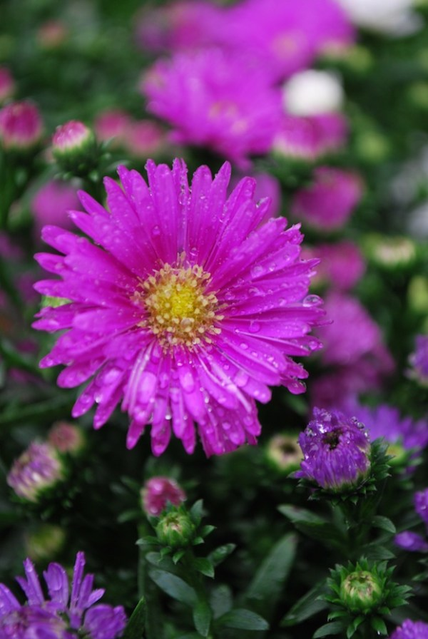 Fall_Asters 2