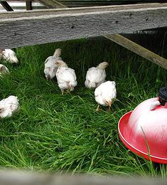 chickens-in-pens