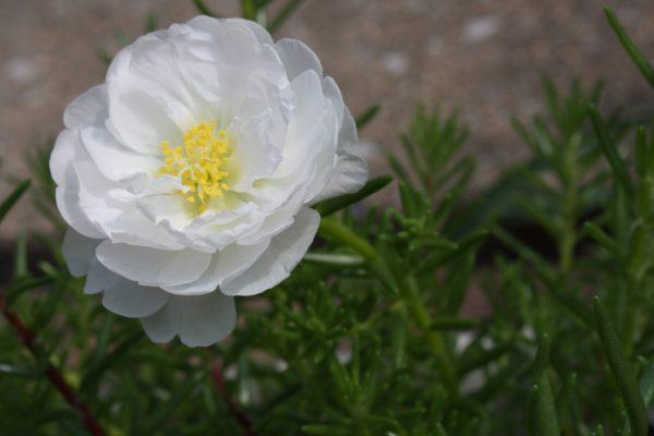 White Portulaca 2