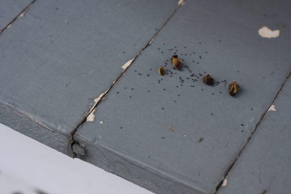 portulaca-seeds