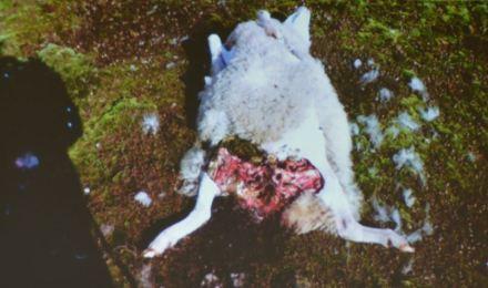Ein Wolfsriss im Emsland? Wohl eher nicht..... Auf das Ergebnis der Genanalyse wird noch gewartet....