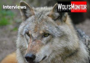 Tierpark-Wolf im Fellwechsel (Foto. Vogler)