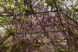 Wisteria Arch, Wisteria was first introduced into New Orleans around 1875.