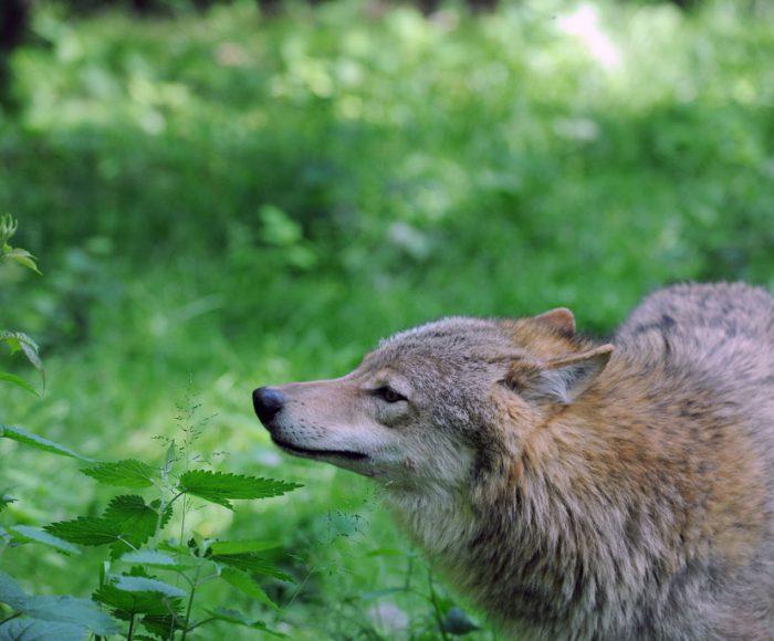 EuropŠischer Wolf.