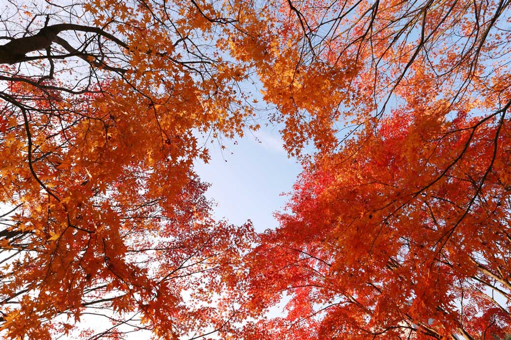 Ground view looking up towards the sky. Red maple tree leaves cover the view of the sky