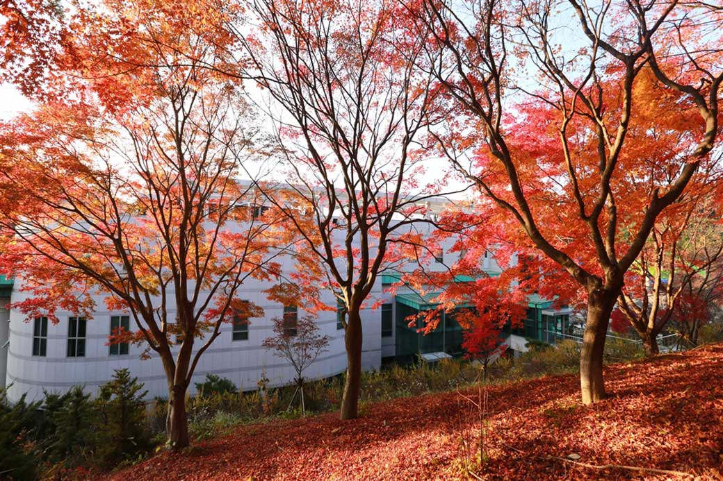 Three red maple trees lined up behind the Holy Son's House of Love in Wolmyeongdong