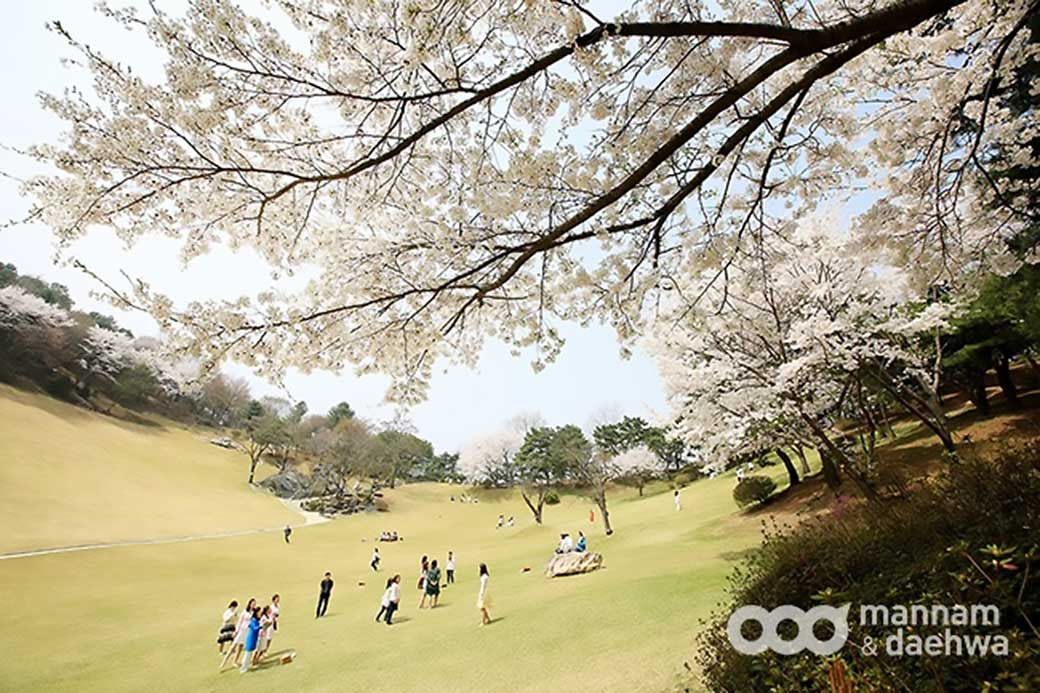 People glorify God on Wolmyeongdong's lawn sanctuary in the spring. A cherry blossom in full bloom surrounds the natural temple.