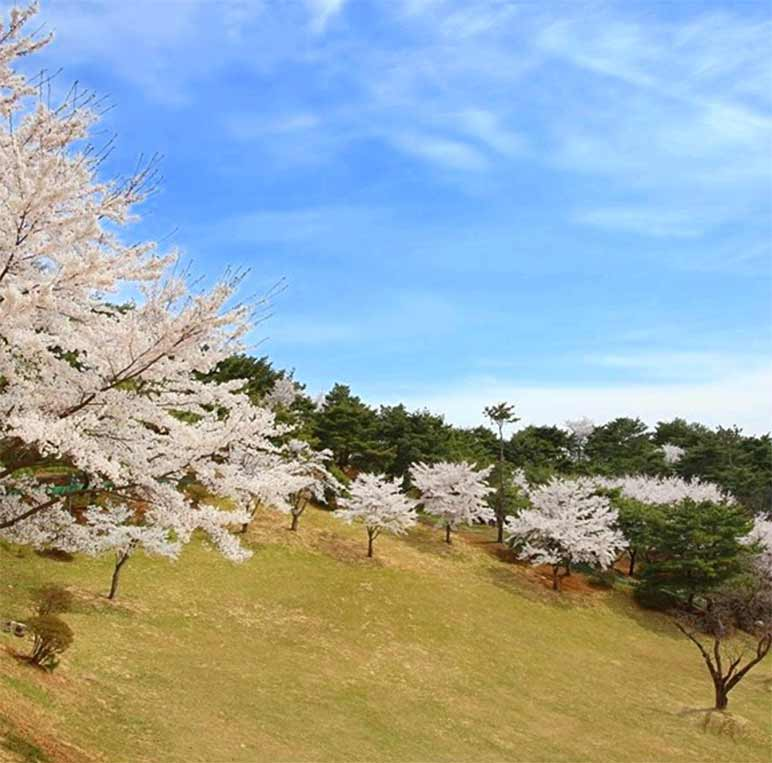 Cherry blossoms in full bloom around the lawn