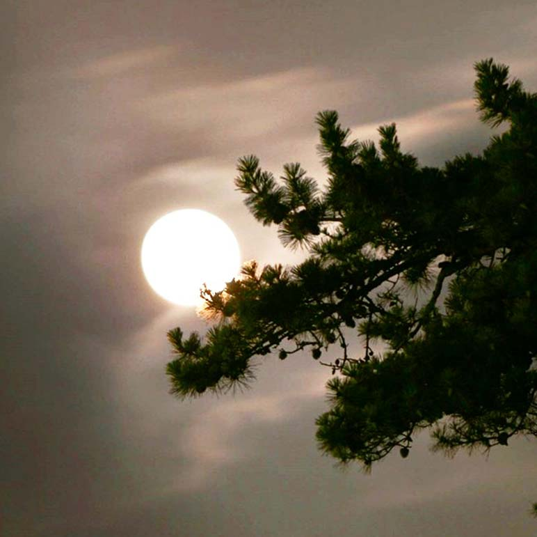 The moon hanging on a pine tree