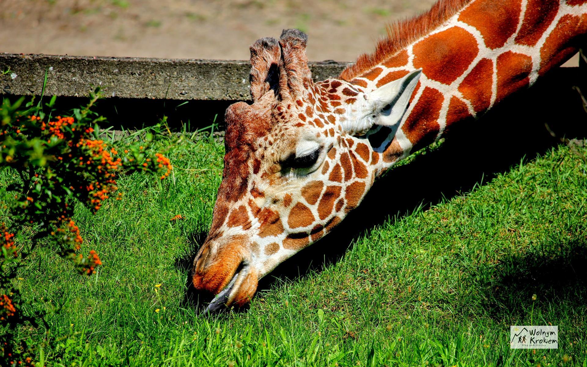 Zoo Wrocław żyrafa