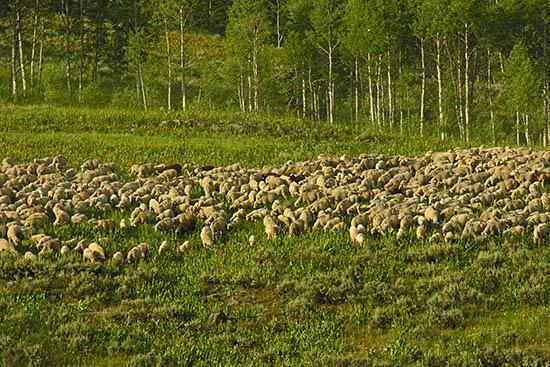 sheep-saltrivers.jpg