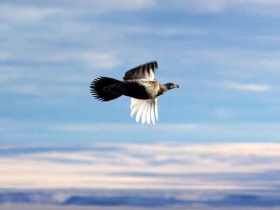 Sage grouse in flight, Bruneau uplands © Ken Cole 2008