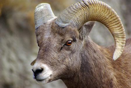 Bighorn Sheep ©Ken Cole