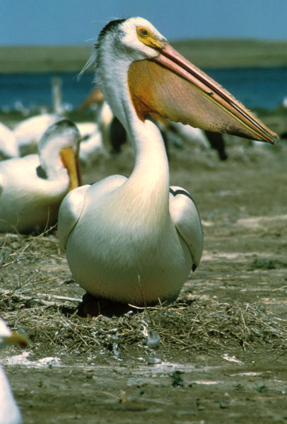 American white pelican - photo: USFWS