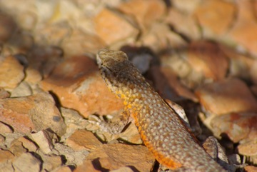 Side-blotched Lizard (Uta stansburiana) © Ken Cole
