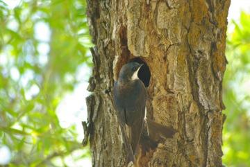Tree Swallow © Ken Cole