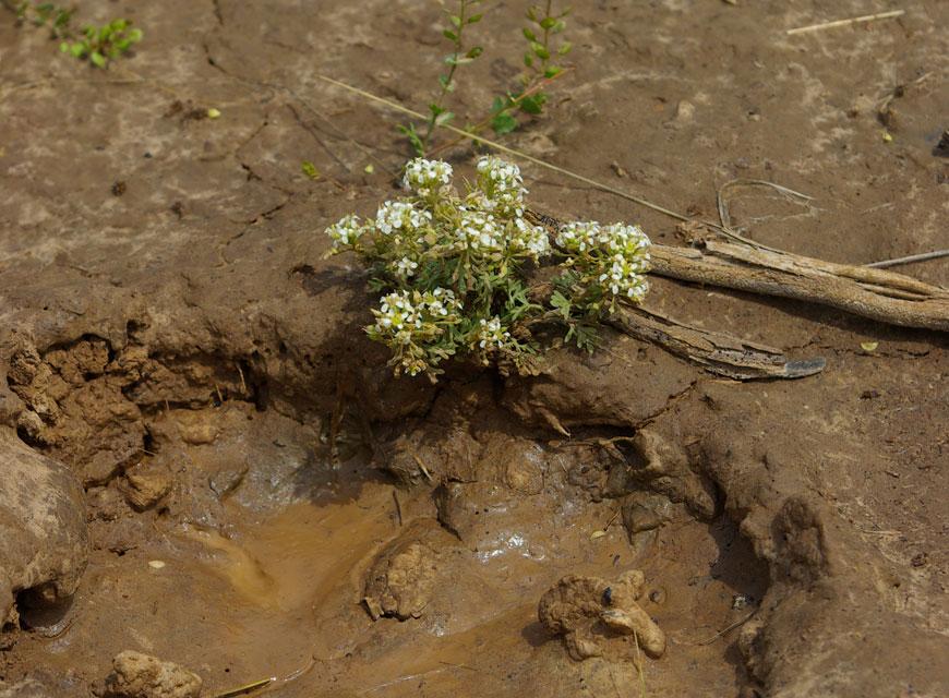 Slickspot Peppergrass (Lepidium papilliferum) nearly trampled by a cow © Ken Cole