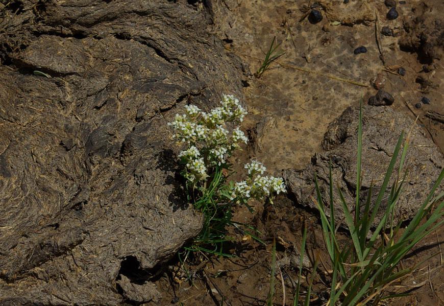 Slickspot Peppergrass (Lepidium papilliferum) covered in cow flop © Brian Ertz